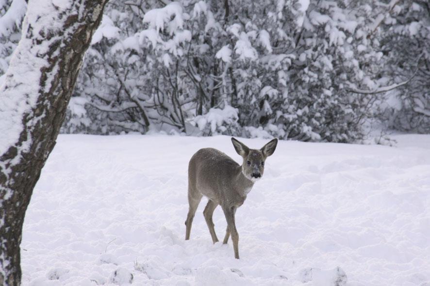 norekefoto, roe deer