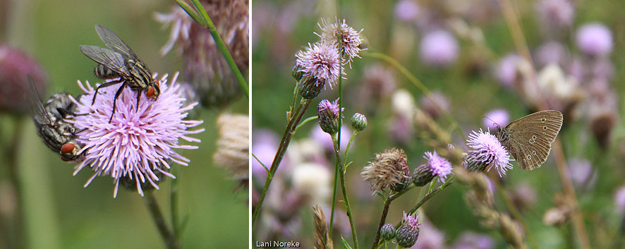 flies and butterflies on thistles